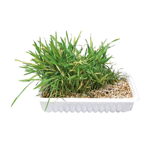 Kattgräs odlingskit